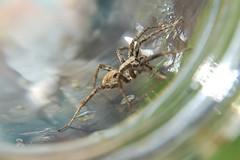 3a. Wolf Spider Photo