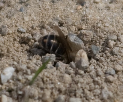 Bee Digging
