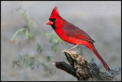 Northern Cardinal photo by amkhosla