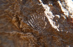 5c. Shell Fossil Photo