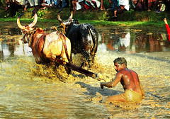 In a Bull Race, The Jockey Generally Gets to Eat Mud !!! photo by Anoop Negi
