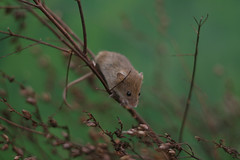 Harvest Mouse photo by captainmcdan