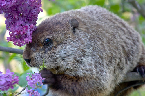 This groundhog was climbing up a lilac bush to reach to good parts ...