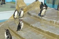 Humboldt Penguin(フンボルトペンギン)