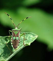 Insect (Hemipteran) photo by P. Thyaga Raju