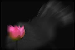 lotus flower - IMGP8368 photo by Bahman Farzad