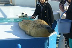 Spotted Seal(ゴマアザラシ)
