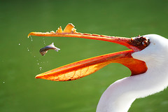 White pelican with lunch in midair (Featured in book, newspapers and nature calendar) photo by flickrgao