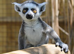 Curious baby ring-tailed lemur photo by john a d willis