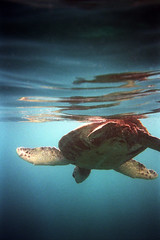 Snorkeling with Sea Turtles on Maui. photo by Robin Thom