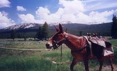 Yosemite Donkey