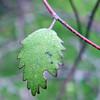 ribbonwood leaf