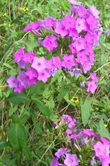 Lavender Wild Flowers