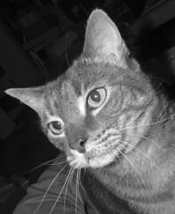 Boo - tabby cat