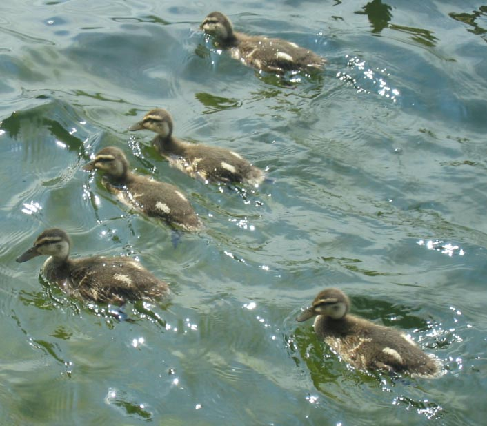 duckings1