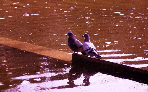 purple pigeons
