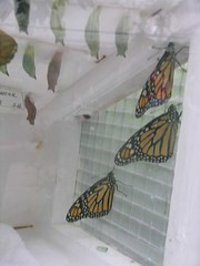Monarchs newly emerged from cocoon in incubator