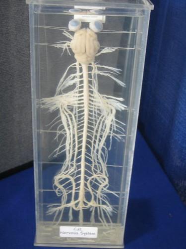 Feline Nervous System