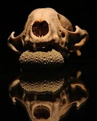 Skull and Sea Urchin