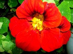 Nasturtium Red