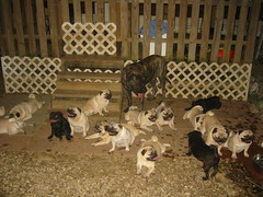 pug dog images