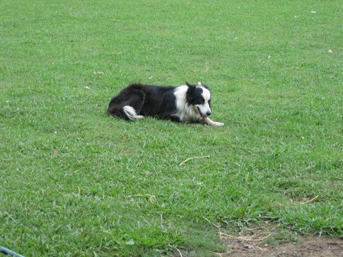 border_collie_1