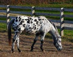 Dalmation Horse photo by cindy47452