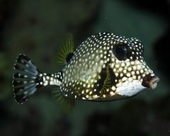 box fish photo by Zé Eduardo...