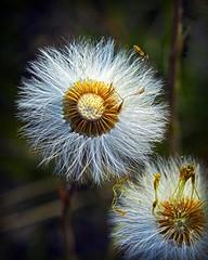 Dandelion photo by pierluigi.ricci