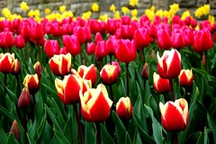 pink & yellow tulips photo by Brahte