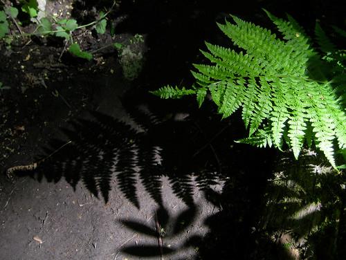 Fern and shadow