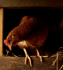 hen house life photo by jamesmorton