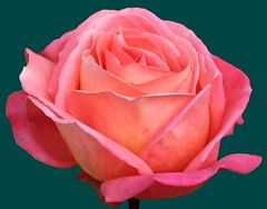 Pink rose photo by Oric1