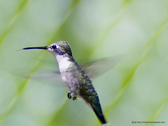 Ruby-throated Hummingbird  (Female) photo by Drawings Of Light - Paul