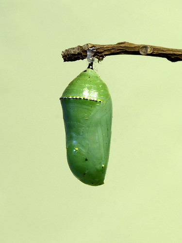 chrysalis-green