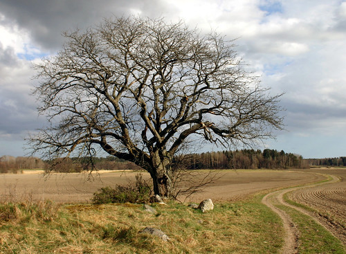 That Old Tree (Thunder Road) (by Steffe)