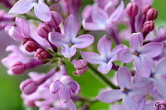 Lilac photo by Anthrophobiac