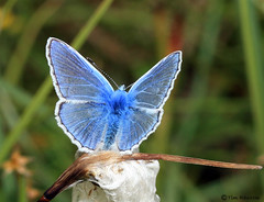 Butterfly - Common Blue (Polyommatus icarus) photo by timz501