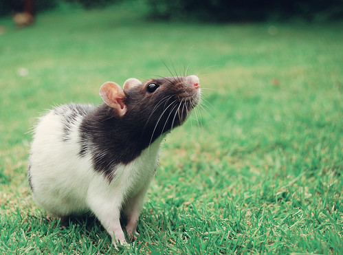 rat rodent