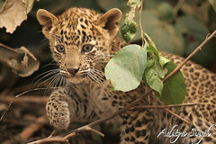 Leopard Cub 1 photo by dickysingh