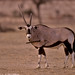 05550-04316 Gemsbok impaled by the broken horn of an adversary in a dominance fight (Oryx gazella) by WildImages