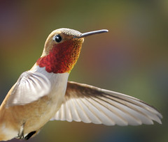 Rufous Hummingbird - All fired up to impress the ladies! photo by Rick Leche