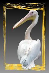 Pelican photo by fotografgox