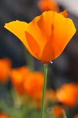 California Poppy #1 photo by philipbouchard