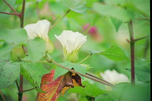 fleur_coton