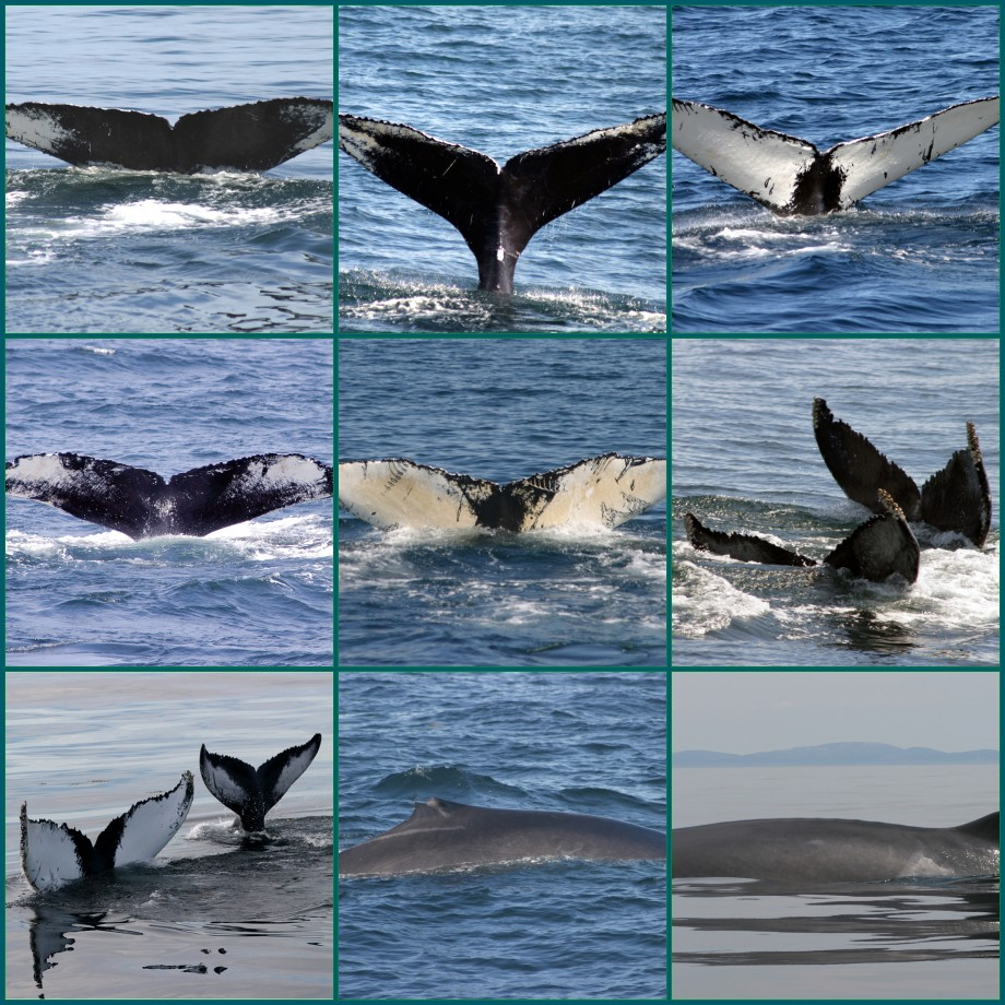 flickr the north atlantic humpback flukes pool. Black Bedroom Furniture Sets. Home Design Ideas