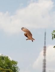 Coruja-Buraqueira (Speotyto cunicularia) voando com a Torre de TV ao fundo - Burrowing owl Flying with the TV tower in the background 2 70 25-10-07 629 photo by Flávio Cruvinel Brandão