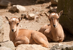 Two Little Aoudad photo by Eric Kilby