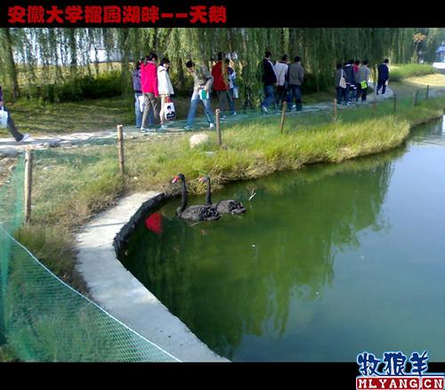 安徽大学榴园湖畔天鹅_05