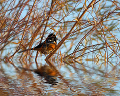 Spotted Towhee Flood photo by Fort Photo